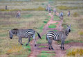 Zebras in afrikaanse savanne Stock Fotografie