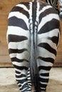 Zebras ass Royalty Free Stock Photo