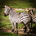 Zebras with birds on back for mutual benefit
