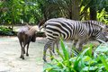 Zebras while eating Royalty Free Stock Photo