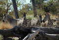 Zebras in the Bush Stock Photo