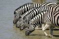 Zebras drinking Royalty Free Stock Image