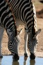 Zebras drinking water Stock Image
