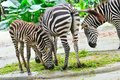 Zebras eating grass Stock Photography