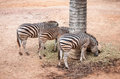 Zebras eating grass group of are the feed Royalty Free Stock Images