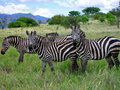 Zebras of Ethiopian savannah Stock Photos