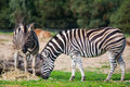 Zebras feed on grass in the wild Royalty Free Stock Image