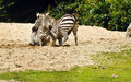 Zebras fighting Royalty Free Stock Photos