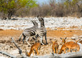 Zebras fighting at a waterhole with springbok in the foreground Royalty Free Stock Photo