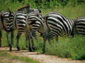 Zebras five side by side walking off the path Stock Image