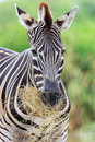 Zebras gaze grass in the open zoo Royalty Free Stock Photo