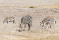 Zebras graze near san simeon california a herd of grazing along the coast Royalty Free Stock Photos