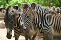 Zebras grevey s at an animal park Stock Photography