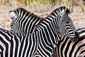 Zebras in Kruger National Park Royalty Free Stock Photo