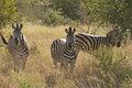 Zebras in Kruger National Park Royalty Free Stock Photography