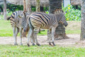 Zebras in love by standing together with fun Royalty Free Stock Photos