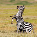 Zebras in the Ngorongoro Crater Royalty Free Stock Image