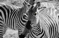 Zebras playing in the savannah closeup black and white Stock Photography