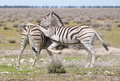 Zebras playing two in the open one jumping one the other Royalty Free Stock Images