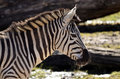 Zebras playing zebra in the savannah closeup Stock Photography