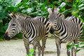 Zebras relaxing at the zoo Royalty Free Stock Photo