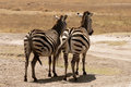 Zebras resting in the savannah of the serengeti africa Stock Photo