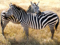 Zebras at serengeti national park tanzania Stock Photography