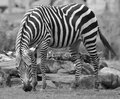 Zebras are several species of African equids horse Royalty Free Stock Photo