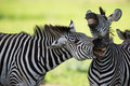 Zebras socialising Stock Photography