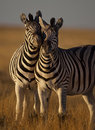 Zebras in soft afternoon light, Namibia Royalty Free Stock Images