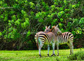 Zebras together scratching their back view of trees on the background Stock Photography