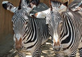 Zebras two female grevy s facing viewer Royalty Free Stock Photos