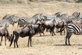 Zebras and wildebeest Royalty Free Stock Photo