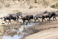 Zebras and wildebeest Royalty Free Stock Photo