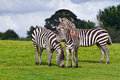 Zebras in the wildlife park Royalty Free Stock Photo