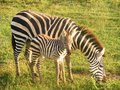 Zebras zebra and baby zebra africa Royalty Free Stock Photo