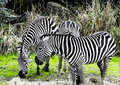 Zebras at the zoo Royalty Free Stock Photo