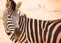 Zebras in zoo single zebra standing front of a herd of a animals captivity Stock Image