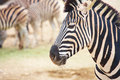 Zebras in zoo single zebra standing front of a herd of a animals captivity Stock Photos