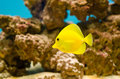 Zebrasoma flavescens- Yellow tang Royalty Free Stock Photo