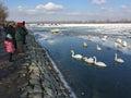 Zemun`s neighbors feeding Swans in the frozen Danube