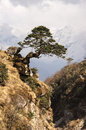 Zen tree above ravine grows outwards on the trail to everest base camp Stock Photo