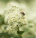 ZhenZhuHua White Flowers