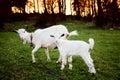 Ziege und Goatling Stockfoto