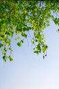 Zielone liści oddziału blue sky Fotografia Stock