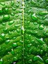 Zielony liść z wodnymi koralikami Zdjęcia Stock