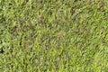 Zielony thujahecke symbol fotografia dla prywatności Zdjęcia Stock