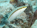 Zigzag wrasse in red sea Stock Photo
