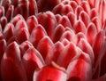 Zingiber sepal flower Royalty Free Stock Images