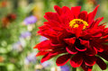 Zinnia Royalty Free Stock Images